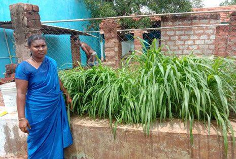 Fodder Cultivation for Goat Rearers, Tamilnadu